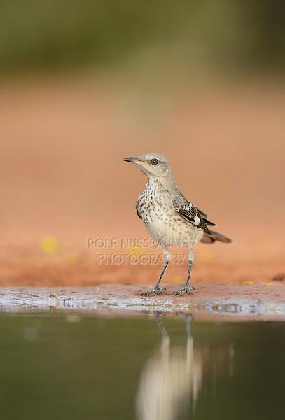 Northern Mockingbird (Mimus polyglottos), immature, Rio Grande Valley, South Texas, Texas, USA