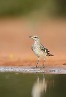 Northern Mockingbird (Mimus polyglottos), immature, Rio Grande Valley, South Texas, Texas, USA