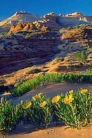 Rough mule's ears<br />