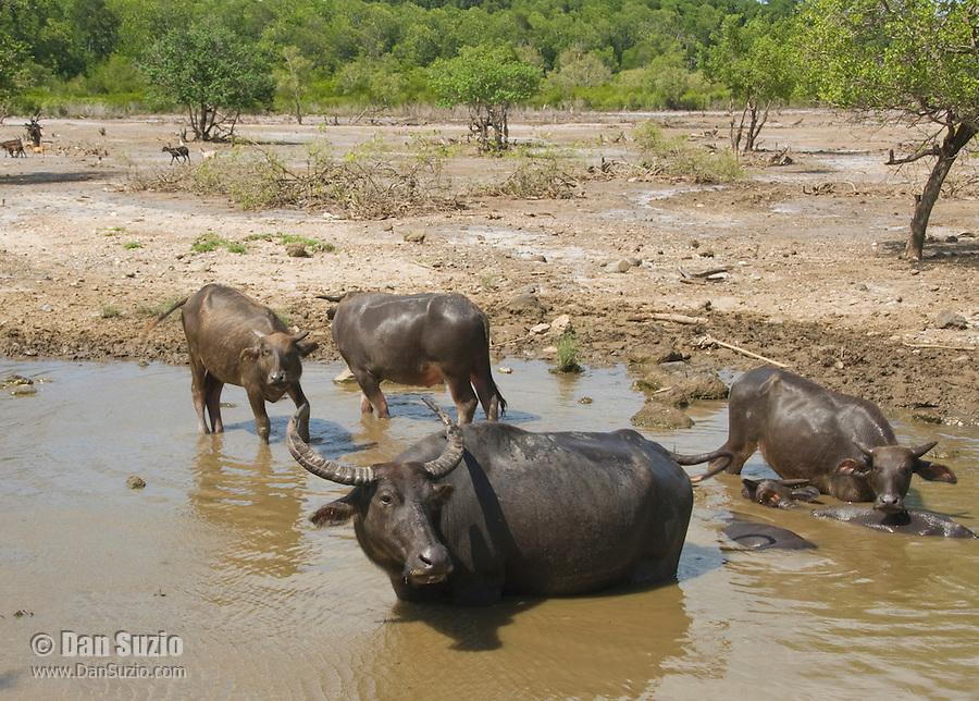 Asian water buffalo, Bubalus bubalis, near Dili, Timor-Leste (East Timor).