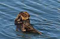 Young Southern Sea Otter pup grooming.  Central California Coast.