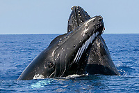 humpback whale, Megaptera novaeangliae, pair, spyhopping, Kona Coast, Big Island, Hawaii, USA, Pacific Ocean
