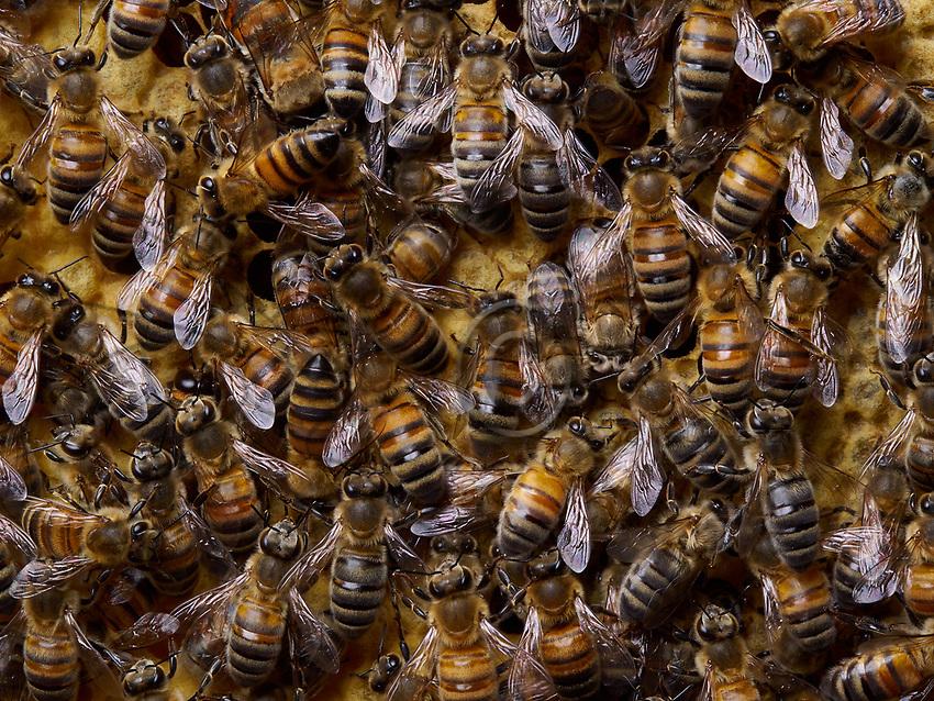 Nurse bees on the brood cells. Abeilles nourricières sur les cellules de couvain.