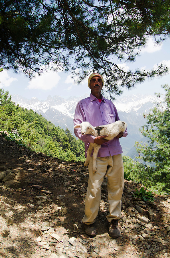 Kashmiri trekking guide rescues a little lost sheep found along the trail above Naranag, Kashmir, India.