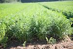 Carrot crop growing in sandy soil Shottisham, Suffolk, England