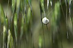 White Garden Snail, Theba pisana, Provence, abstract on grasses soft focus.France....