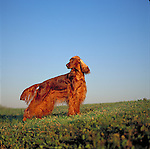 Irish Setter against a bright blue sky Shopping cart has 3 Tabs:<br />