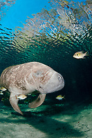 Florida manatee, Trichechus manatus latirostris latirostris, a subspecies of West Indian manatee, Trichechus manatus, followed by cleaning fish, bluegills, Lepomis macrochirus, Three Sisters Springs, Crystal River, Florida, USA