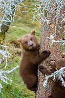 brown, Grizzly, bear, Ursus arctos horribilis , Katmai National Park , Alaska, USA