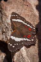 The Banded Peacock (Anartia fatima) can be found throughout most of the year in the Lower Rio Grand Valley of Texas. It also strays to Southern Arizona.<br /> <br /> The white and red stripe pattern on dark wings makes it easy to identify. The bottom picture shows that the pattern on the underside of the wings matches the pattern on the top side of the wings.