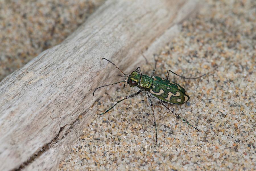 Sandlaufkäfer, Sand-Laufkäfer, Lophyra flexuosa, Cicindela flexuosa, Tiger Beetle, Cicindelidae