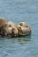 Sea Otter (Enhydra lutris) mom and pup.