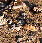 On The Beach 04 - Shells and seaweed washed up on Moses Rock Beach, Western Australia
