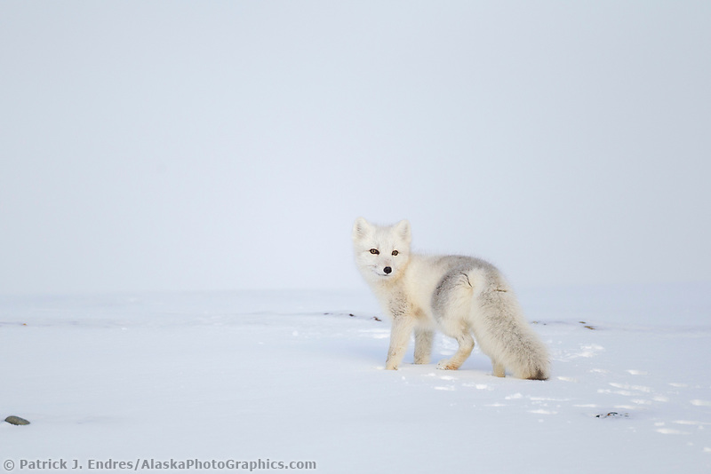 Arctic fox in white winter coat on the snowy tundra of Alaska's arctic north slope.