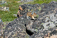 American pika (Ochotona princeps) running/jumping back toward one of its haypiles (winter food caches) with a mouthful of plant material.  Beartooth Mountains, Wyoming/Montana.  Summer.  This photo was taken in alpine setting at around 11,000 feet (3350 meters) elevation.