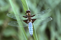 Broad-bodied Chaser male - Lilbellula depressa