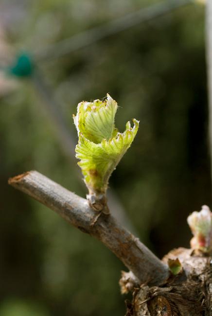 Bud break on vineyard near rutherford