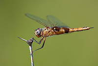 388550020 a wild female red saddlebags dragonfly tramea onusta perches on a dead flower stem at southeast regional park austin travis county texas