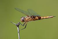388550020 a wild female red saddlebags dragonfly tramea onusta perches on a dead flower stem at southeast regional park austin travis county texas