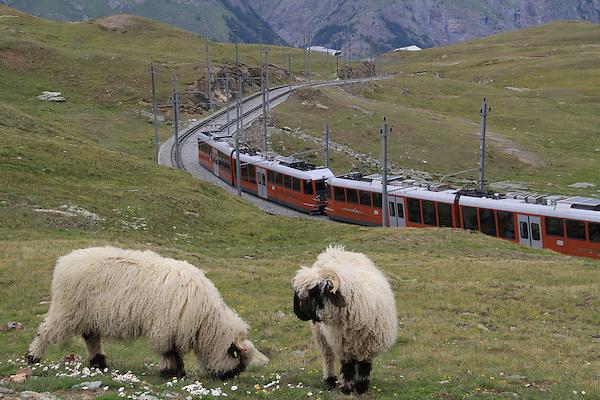 Gornergrat train and mountain sheep in the Alps near the Matterhorn, Zermatt, Switzerland.