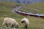 Gornergrat train and mountain sheep in the Alps near the Matterhorn, Zermatt, Switzerland.