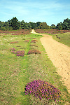 Heathland heather vegetation, Sandlings, Shottisham, Suffolk, England