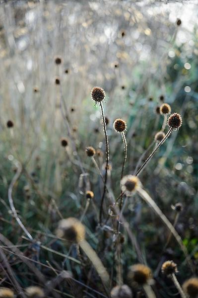 Cephalaria litvinovii
