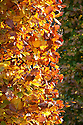 Autumn foliage of clipped beech (Fagus sylvatica), early November.