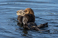Southern Sea Otter mom with young pup.  Central California.
