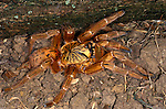 Togo or Starburst Baboon Spider, Hetroscodra maculata, Tarantula, West Africa, captive, Red Form/Orange.Africa....