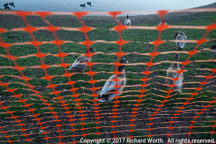 Bright orange temporary fencing separates the sidewalk path from the new landscaping taking hold at the San Lorenzo Park and also stops these ducks from waddling onto the sidewalk.  They've given up and are heading back to the pond.