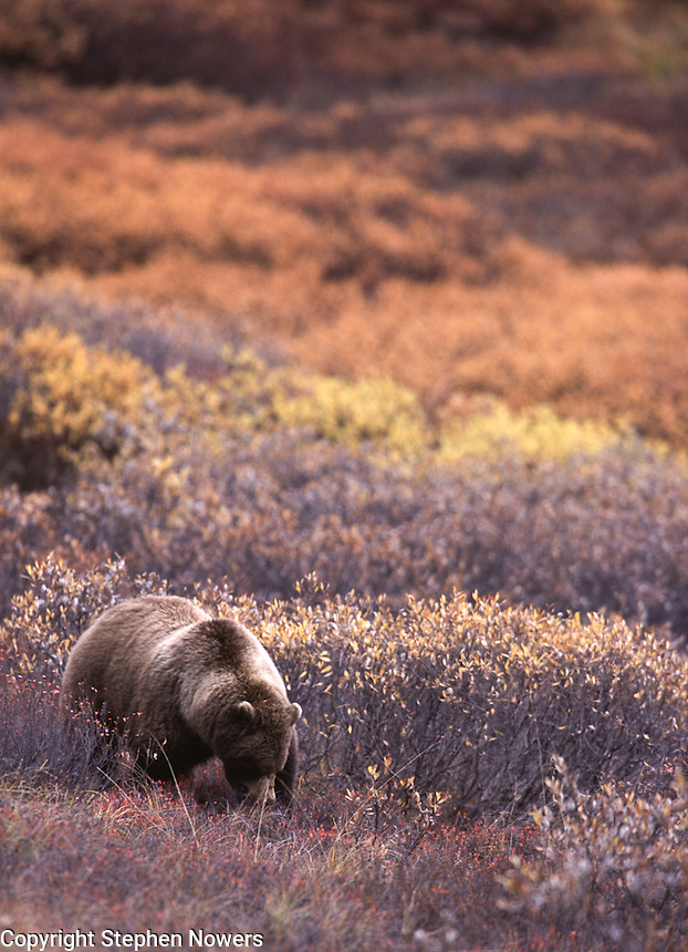 A willow ptarmigan stands in Denali National Park's autumn tundra.