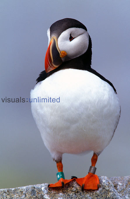 A banded Atlantic Puffin, Maine