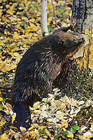 North American Beaver (Castor canadensis) cutting aspen tree in fall.