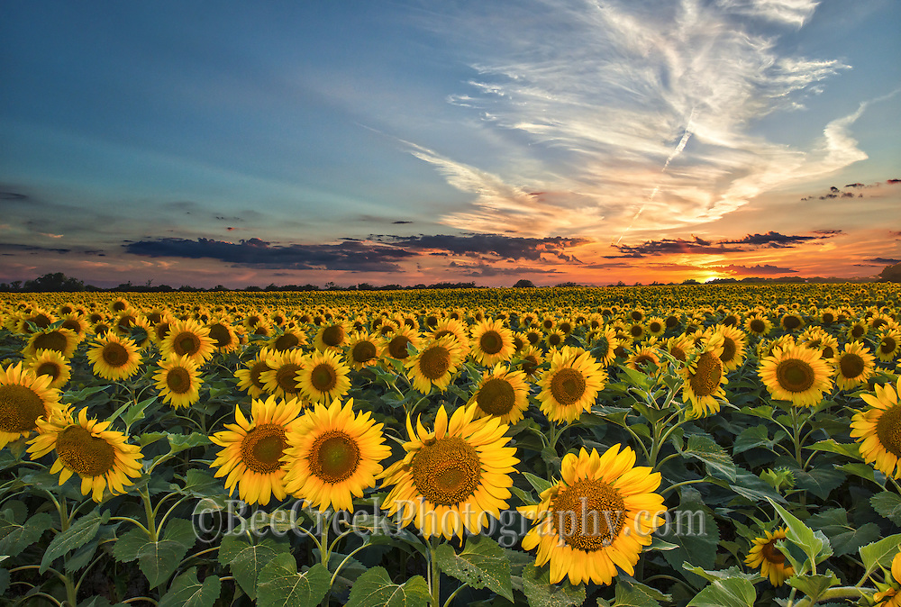 Smithson made this photo of the day in July 2014. We made many attempt to get this photo going back several times to try and get  this field of sunflowers at sunset and on our last try it finally worked.  We had to added a little flash to keep enough light on the sun flowers as it was getting dark.  We were not alone trying to capture this photo along IH35 that day there were many cars stopping to take picture of sunflowers fields and every time we came after.  Farmers now are using sunflowers in their rotation of their crops so they can go on for miles in some area.