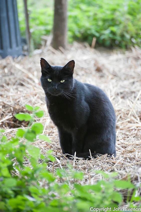 Black farm cat on straw,  Diss, Norfolk,