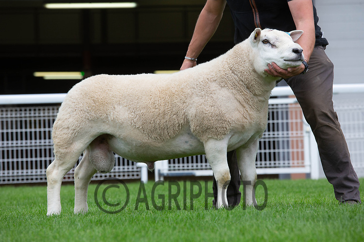 N.S.A Wales & Border Ram Sales, Royal Welsh Showgound<br /> Lot 2481 owned by W T Davies & Co sold for 4000gns<br /> ©Tim Scrivener Photographer 07850 303986<br />      ....Covering Agriculture In The UK....
