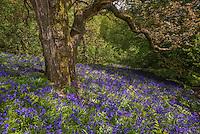 Bluebells, Whitewell, Lancashire.