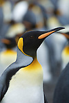 A portrait of a king penguin at Gold Harbour in South Georgia.