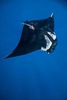 Giant Pacific Chevron manta ray, Manta birostris, with remora, Echeneida sp., in the Revillagigedo Islands, Pacific Ocean