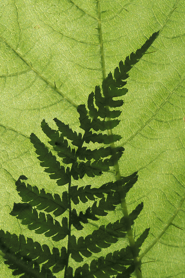 Western sword fern (Polystichum munitum) shadow on devil's club (Oplopanox horridum) leaf, Olympic National Park, Washington