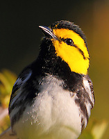Hi there. I'm a golden-cheeked warbler and what are you doing in my territory?