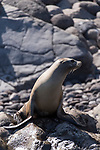 Guadalupe Island, Baja California, Mexico; a California Sea Lion warming itself on the rocks near the water in later afternoon sunlight