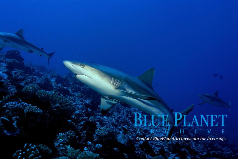 Gray reef shark, Carcharhinus amblyrhynchos, Tuamotus, Pacific Ocean