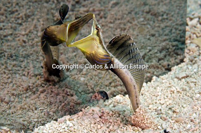 Chaenopsis ocellata, Bluethroat pikeblenny, Florida Keys
