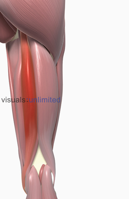 A posterior view of the muscles of the right thigh. The semitendinosus muscle is highlighted. Royalty Free