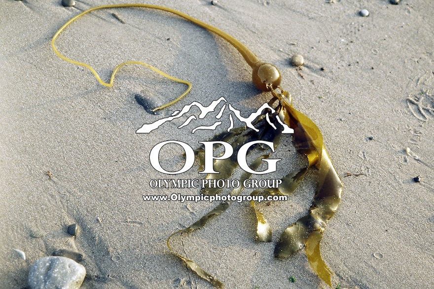 Washington Seaweed resting on the beaches of Washington State.