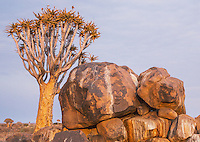 Rock Hyrax and Quiver Tree at the Quiver Tree Forest