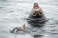 Elephant Seal Half Moon Bay