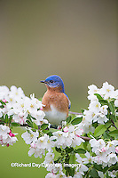 01377-17719 Eastern Bluebird (Sialia sialis) male in Crabapple tree (Malus sp.) in spring Marion Co. IL